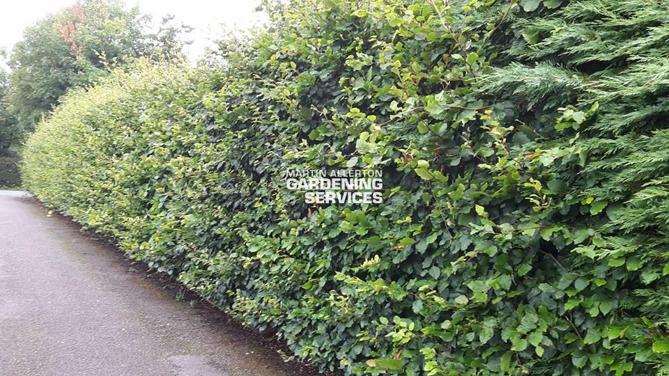 Mill Meece beech hedge trimming - before
