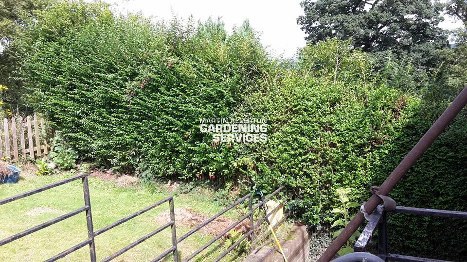 Tittensor privet hedge trimming - before