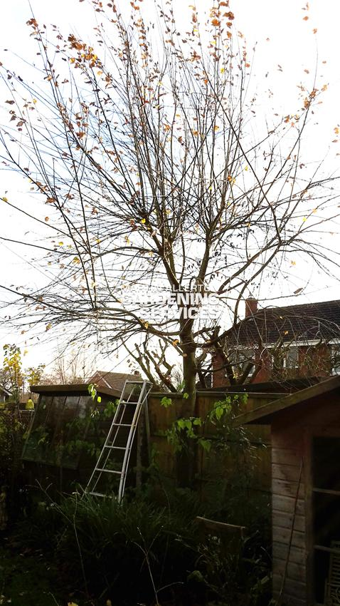 Kingstone tree pollarding - before