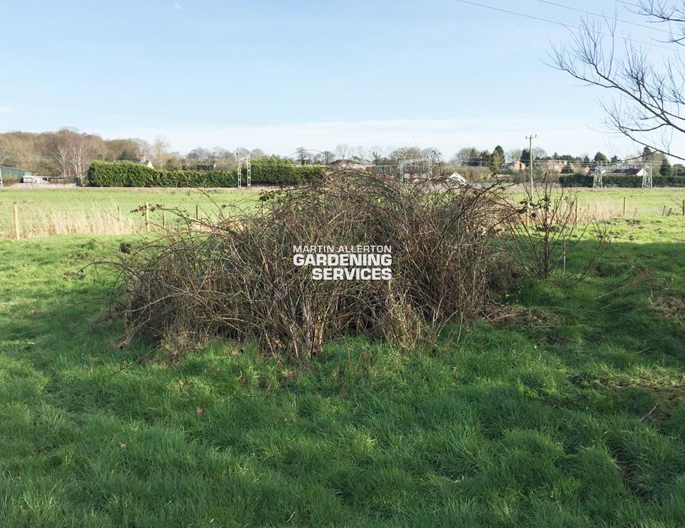 Standon bramble clearance - before