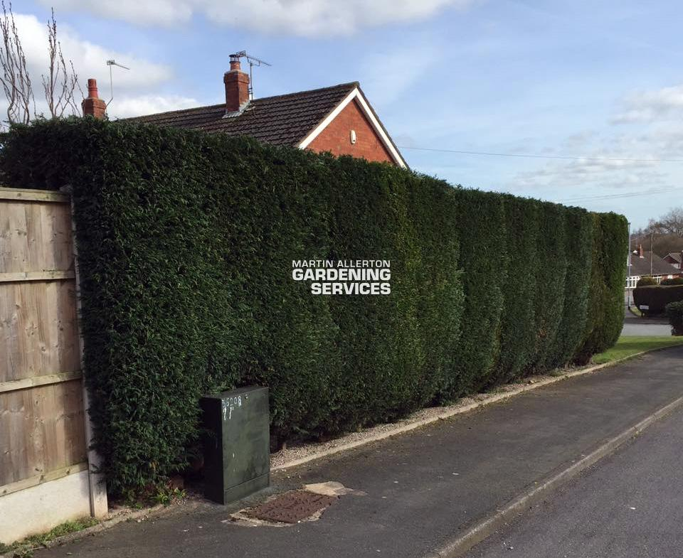 Eccleshall hedge cut - after