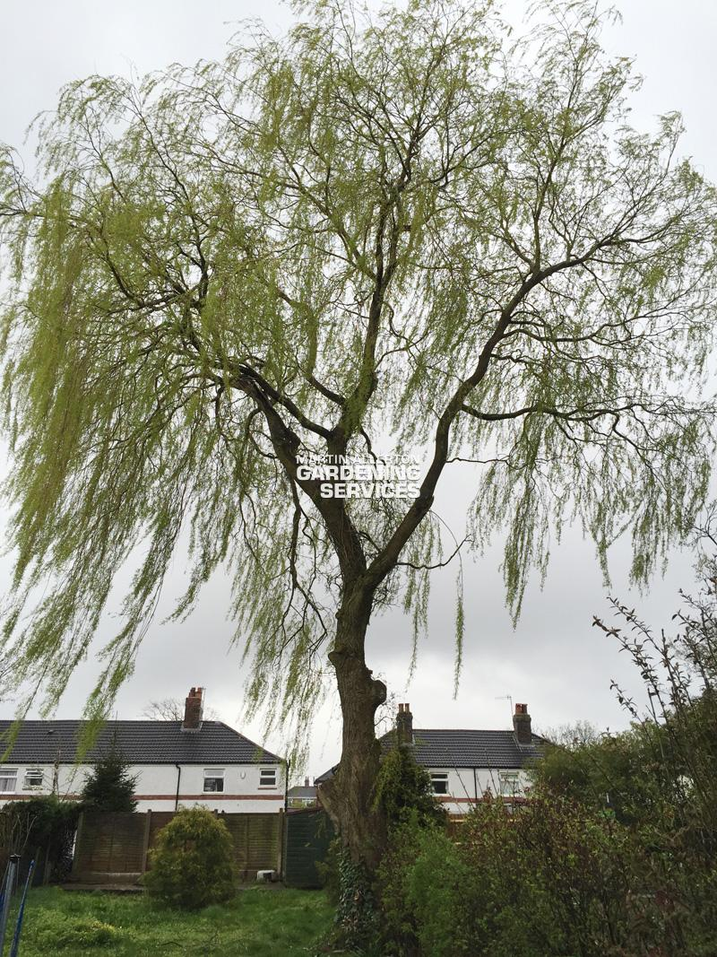 Newcastle willow tree removal - before