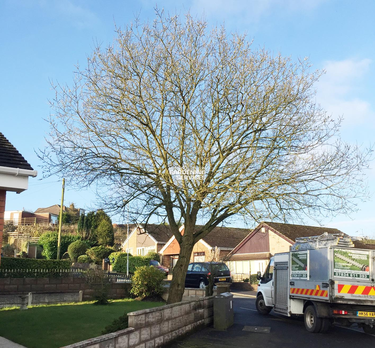Werrington willow tree removal - before