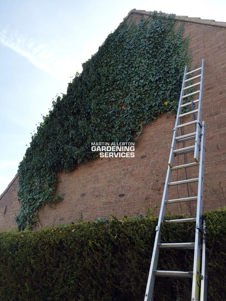 Great Bridgeford ivy removal - before