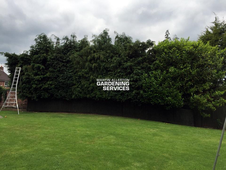 Aston conifer hedge cut - before