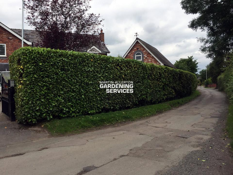 Aston laurel hedge cut - after (1 of 2)
