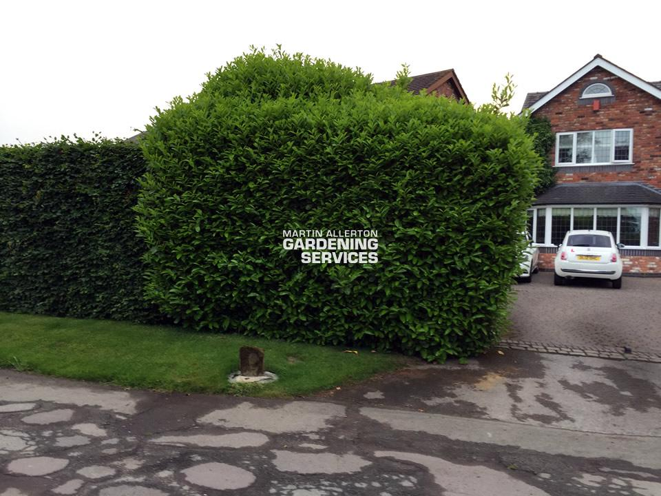 Aston laurel hedge cut - before (2 of 2)