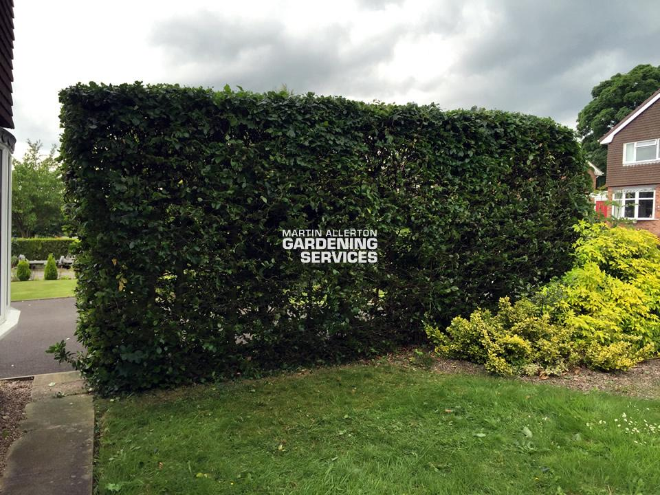 Kingstone hedge cut - after