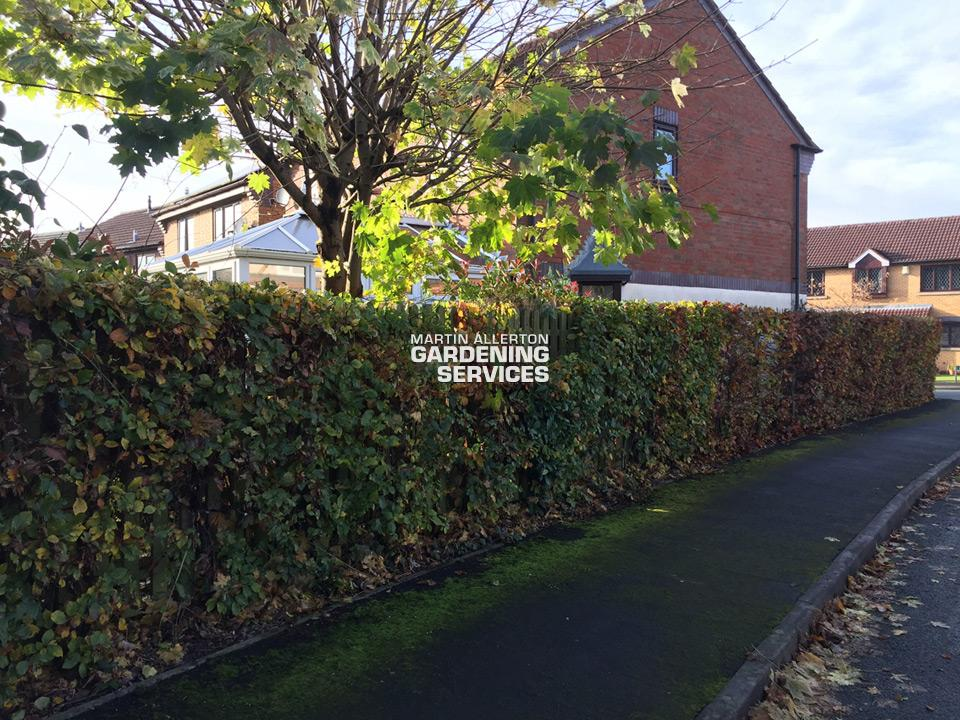 Stone beech hedge cut - after