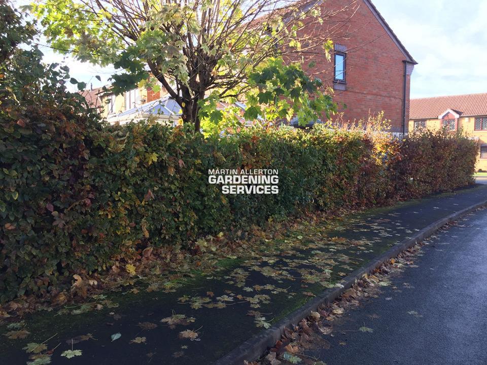 Stone beech hedge cut - before