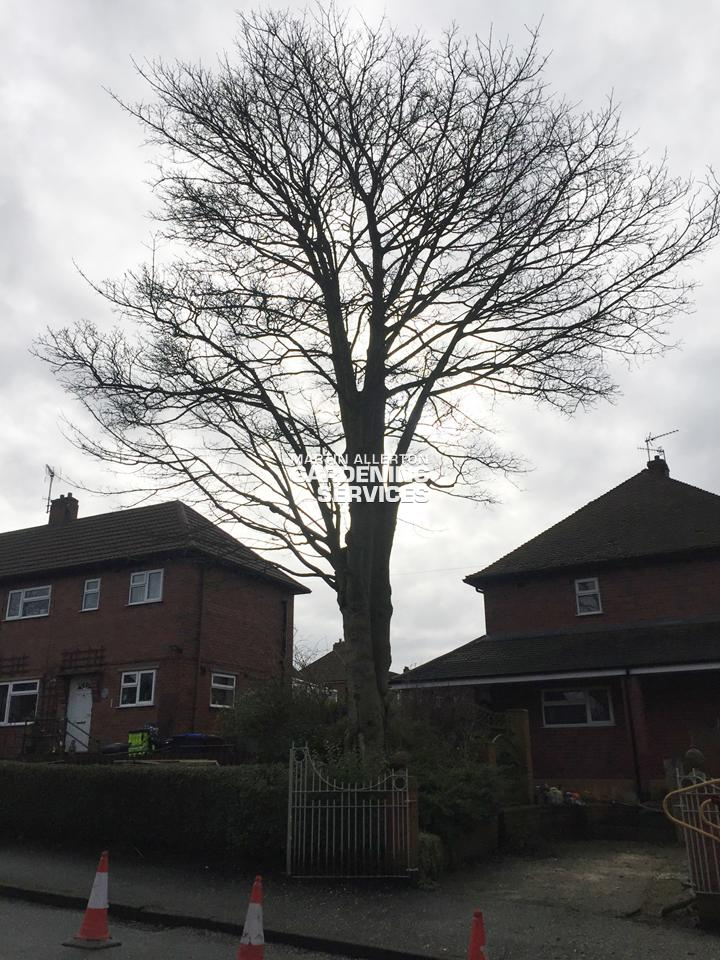 Stoke-on-Trent Sycamore Tree removal - before