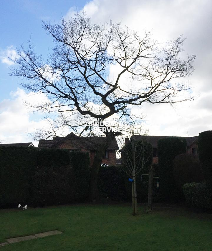 Stoke-on-Trent oak tree crown reduction - before