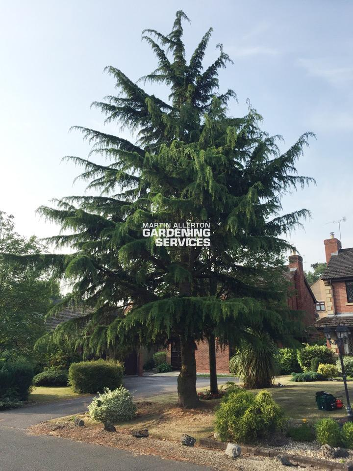 Stafford tree removal - before