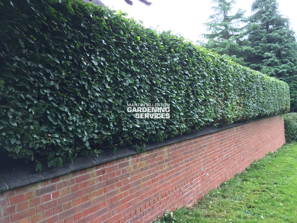 Stone beech hedge trim - after