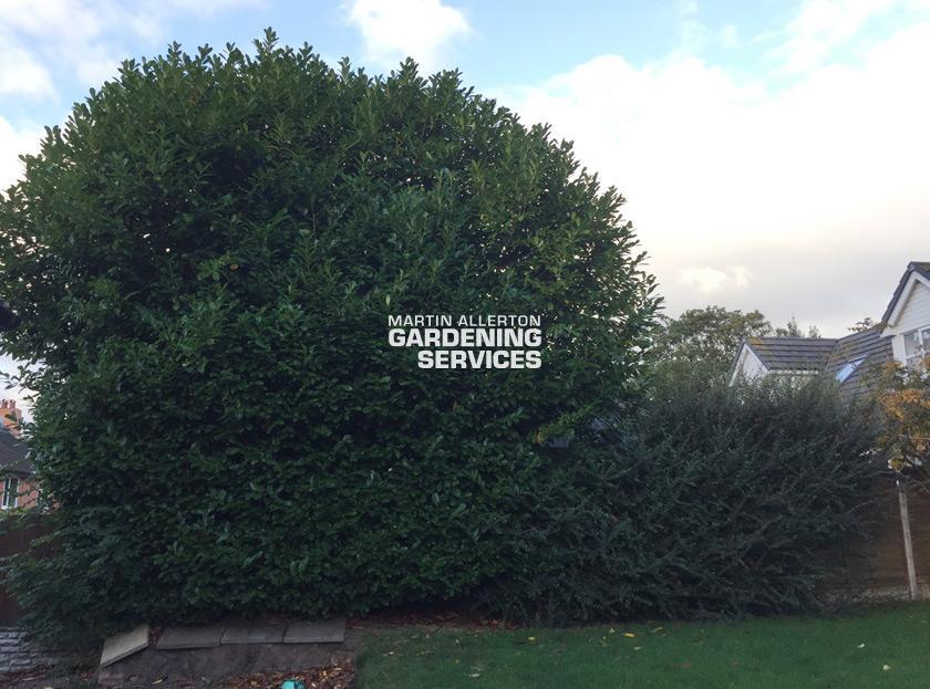 Stoke laurel tree reduction - before