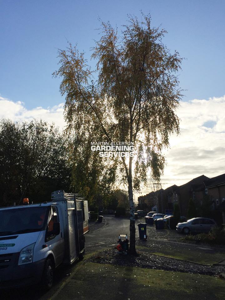 Stone silver birch tree reduction - before