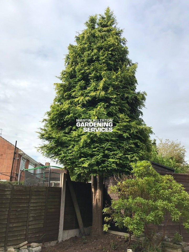 Newcastle-under-Lyme 25ft conifer tree removal - before