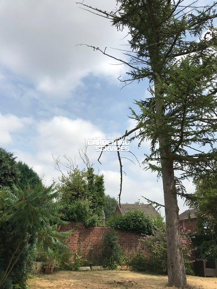 Stone 30ft larch tree removal - after