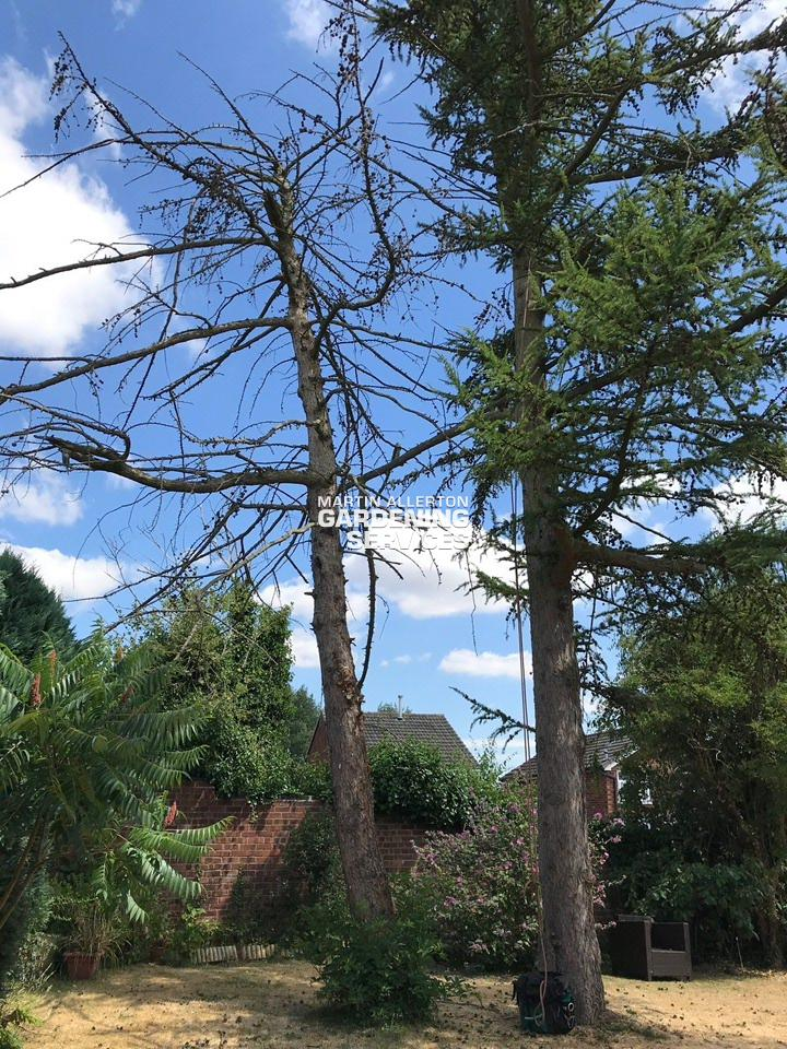Stone 30ft larch tree removal - before