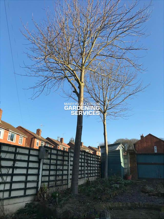Stone, Staffordshire removal of 2 25ft trees - before