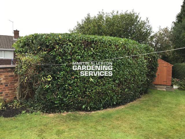 Newcastle-under-Lyme laurel hedge cut - after