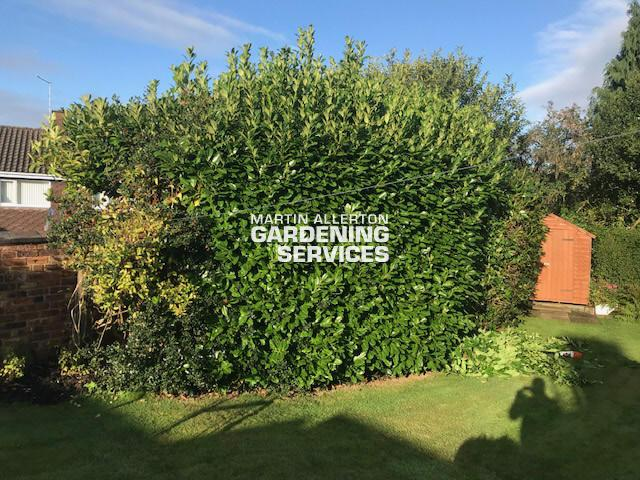 Newcastle-under-Lyme laurel hedge cut - before