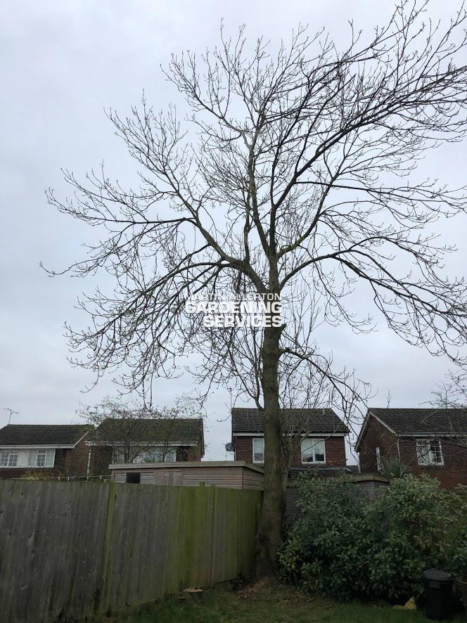 Stone, Staffs removal of 35 foot dead ash tree - after
