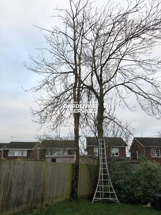 Stone, Staffs removal of 35 foot dead ash tree - before