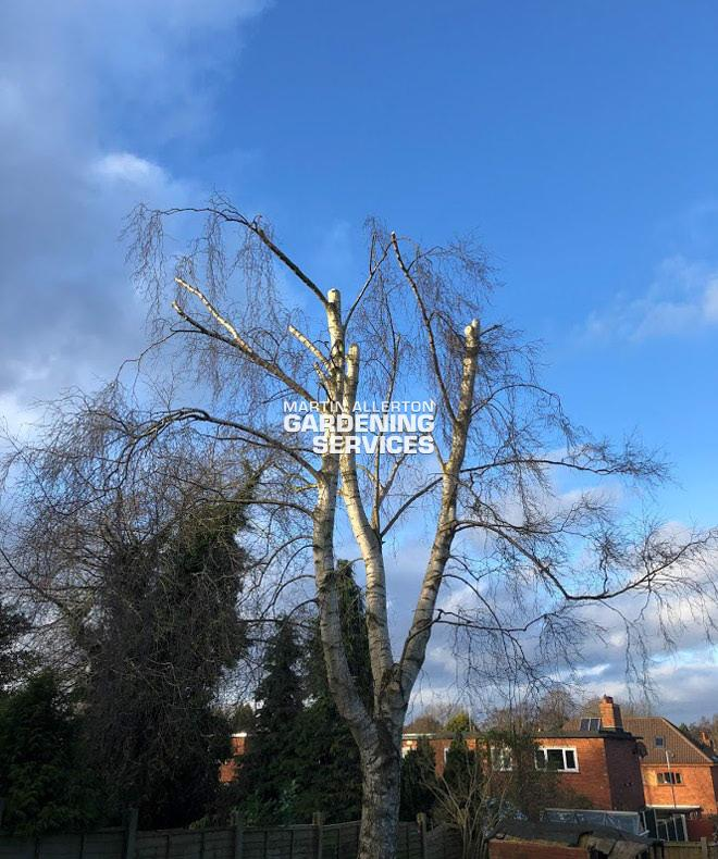 Stone 30ft height reduction of silver birch tree - after