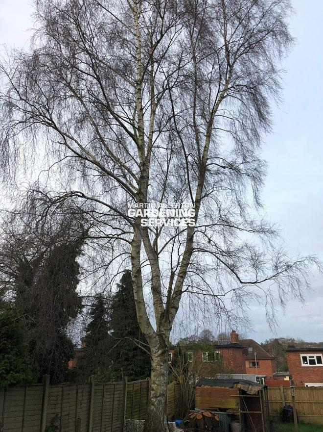 Stone 30ft height reduction of silver birch tree - before
