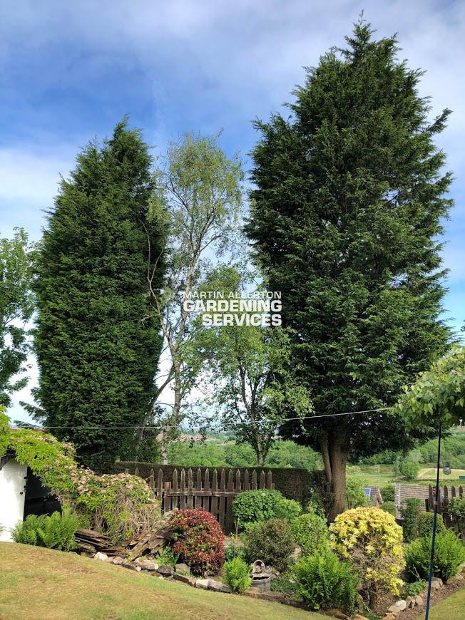 Stoke-on-trent large conifers removed - before