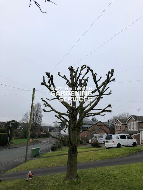 Hixon sycamore pruning - after