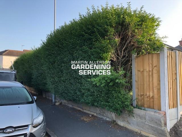 Trentham privet hedge reduction - before